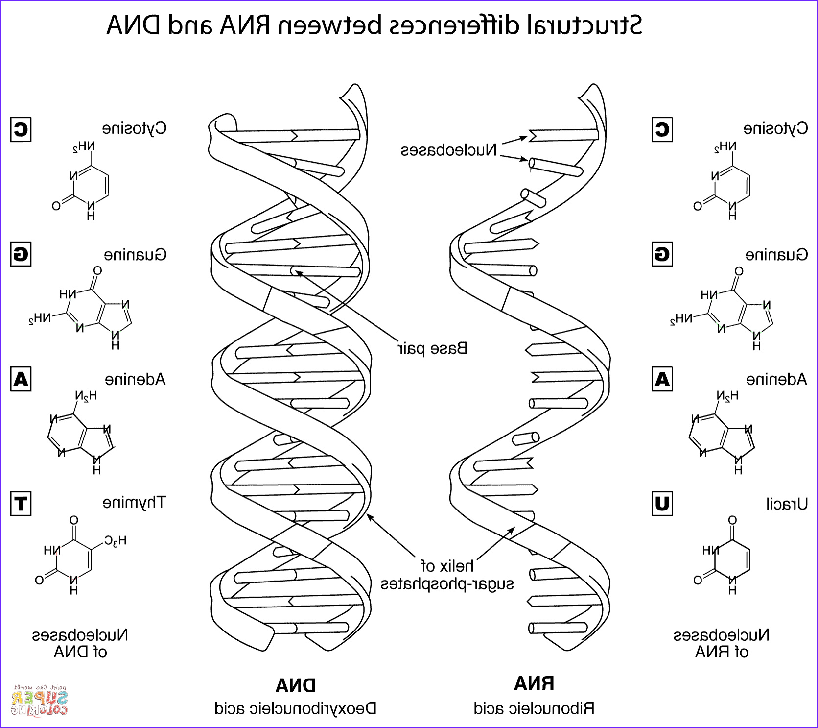Dna Coloring Page Beautiful Photos Structural Differences Between Dna And Rna