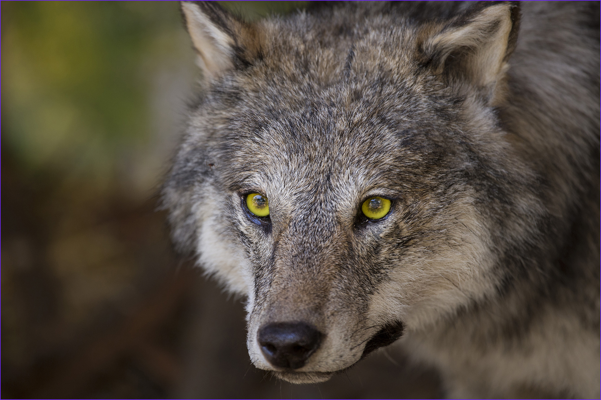 Gray's Anatomy Coloring Book Awesome Collection Ficials to Lift Protections for Gray Wolves In Lower 48
