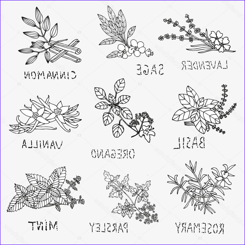 Herbs Coloring Page Unique Photos Hand Drawn Culinary Herbs — Stock Vector © Chantall