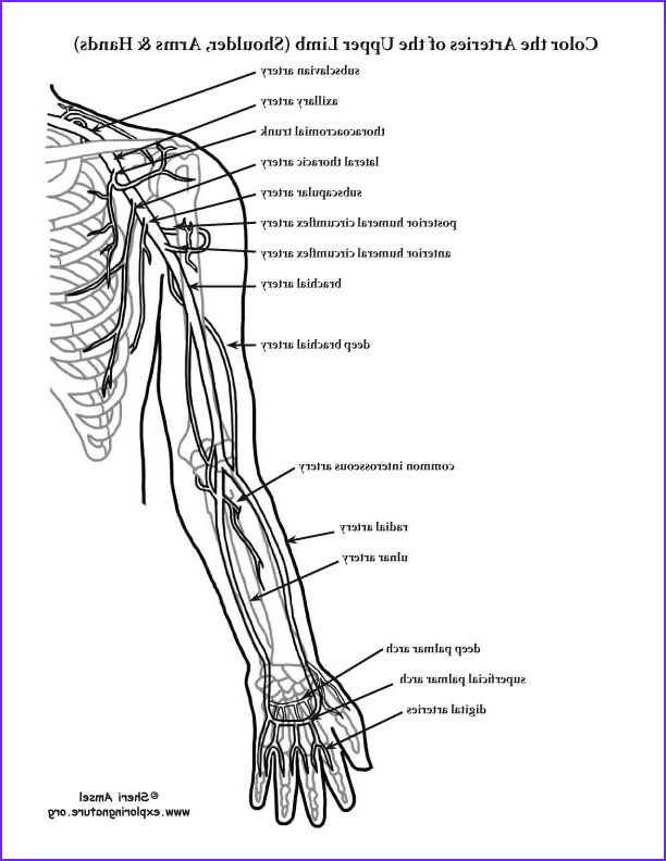 Arteries of the Upper Limb Shoulder Arm Hand Coloring Page