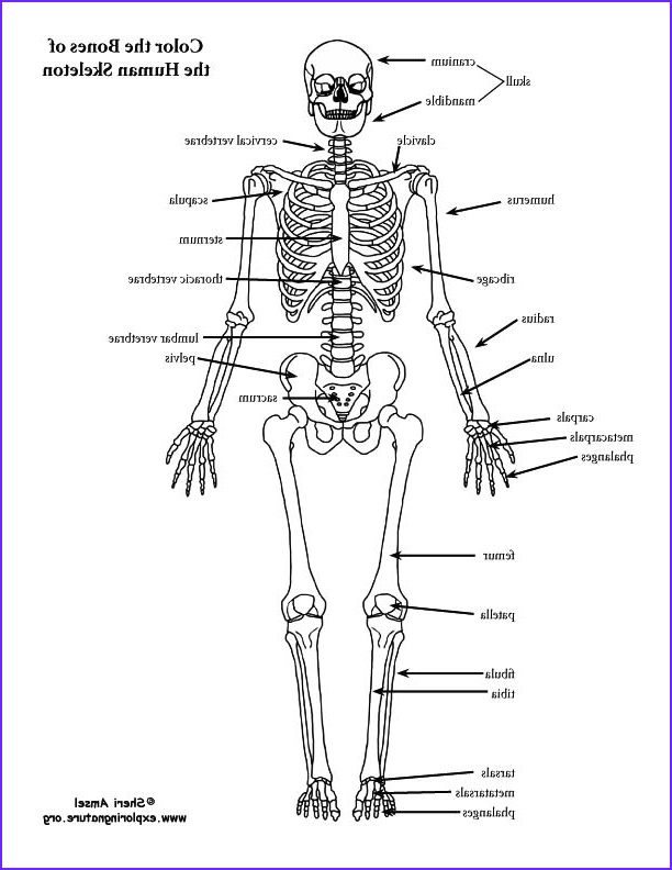 Anatomy Of A Bone Coloring Beautiful Photos Skeleton Labeled Coloring Page