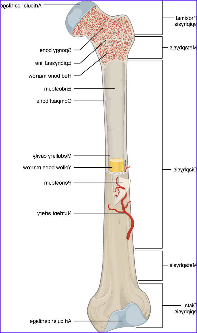 Anatomy Of A Bone Coloring Best Of Images 6 3 Bone Structure – Anatomy and Physiology