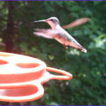 Is Red Food Coloring Harmful To Hummingbirds Awesome Photos Guide To Hummingbird Season – Carycitizen