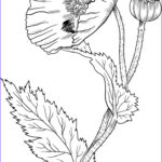 Poppy Coloring Cool Images Best 25 Poppy Drawing Ideas On Pinterest