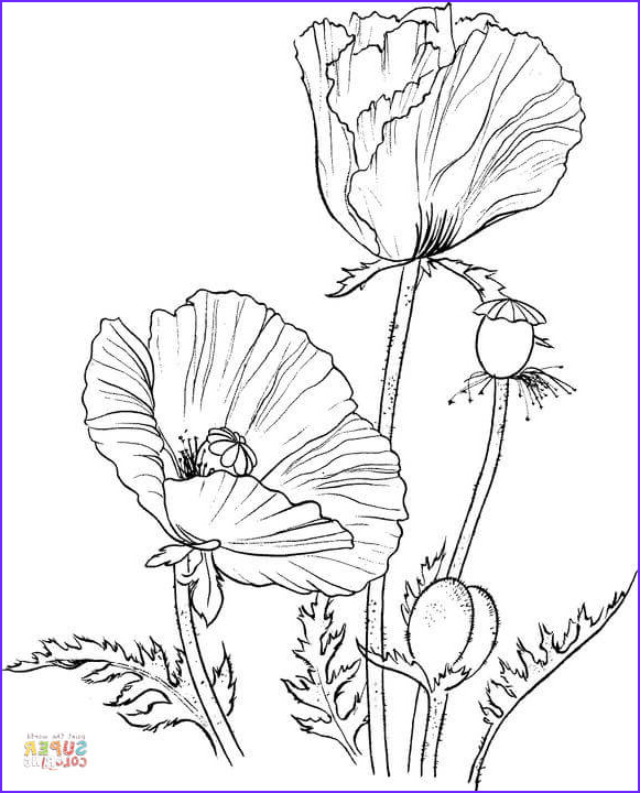 Poppy Coloring Cool Photography oriental Poppy Coloring Line