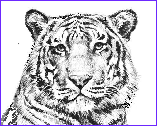 Tiger Coloring Pages for Adults Luxury Stock Tiger Coloring Pages Printable Coloring