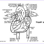 Anatomy And Physiology Coloring Book Pdf Unique Photography Heart Anatomy And Blood Flow Advanced