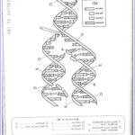 Dna Coloring Transcription And Translation Inspirational Collection Dna Replication Coloring Worksheet On Dna Coloring