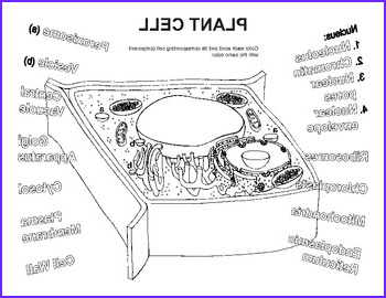 Plant Cell Coloring Sheet Best Of Gallery Plant Cell Coloring Worksheet by Bioart