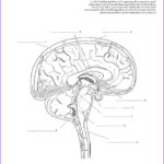 Anatomy And Physiology Coloring Book New Image Anatomy And Physiology Coloring Workbook Chapter 7 Nervous
