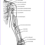 Anatomy Coloring Beautiful Collection Image Result For Free Human Anatomy Coloring Pages Pdf