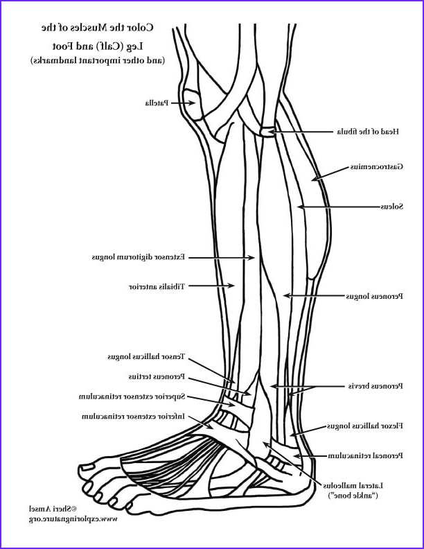 Anatomy Coloring Luxury Gallery Muscles Of the Leg and Foot – Coloring