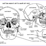 Anatomy Coloring New Image Skull Bones Of The Cranium And Face Coloring