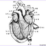 Anatomy Coloring Unique Stock Anatomy Of Heart Coloring Pages Free Printable Coloring