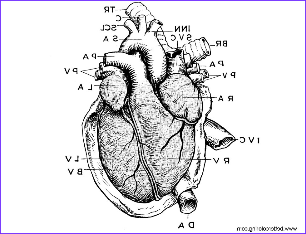 anatomy of heart coloring pages