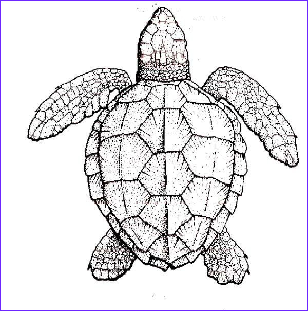 Coloring Page Turtle New Photos Realistic Turtle Coloring Pages Google Search