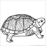 Coloring Pages Turtles Cool Stock Print & Download Turtle Coloring Pages As The