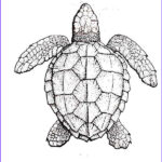 Coloring Pages Turtles Unique Photos Realistic Turtle Coloring Pages Google Search