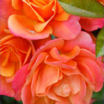 Coloring Roses Cool Photography The Gardens Of Petersonville My Roses Aren T Perfect