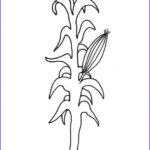 Corn Stalk Coloring Page Cool Collection Corn Stalk Coloring Page Coloring Home