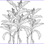 Corn Stalk Coloring Page Elegant Collection Corn Stalk Drawing At Paintingvalley