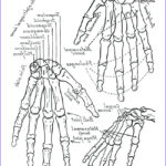 Free Printable Human Anatomy Coloring Pages Luxury Photos Anatomy Coloring Pages Muscles At Getcolorings