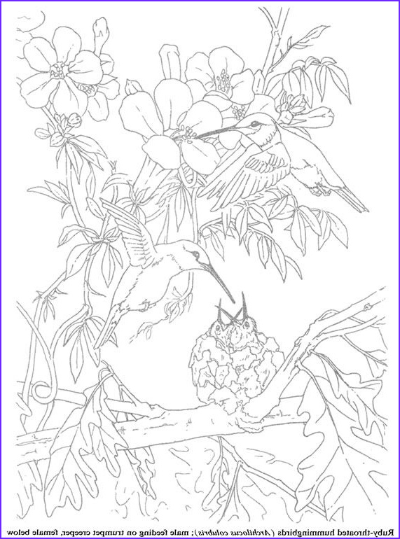 Hummingbird Coloring Pages for Adults Inspirational Collection Coloring for Adults Kleuren Voor Volwassenen
