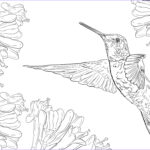 Hummingbird Coloring Pages Unique Image Hummingbird Drawing Free At Getdrawings