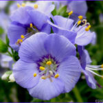 Jacob's Ladder Coloring Page Beautiful Gallery 1000 Dwarf Jacobs Ladder Seeds Spreading Jacob S Ladder