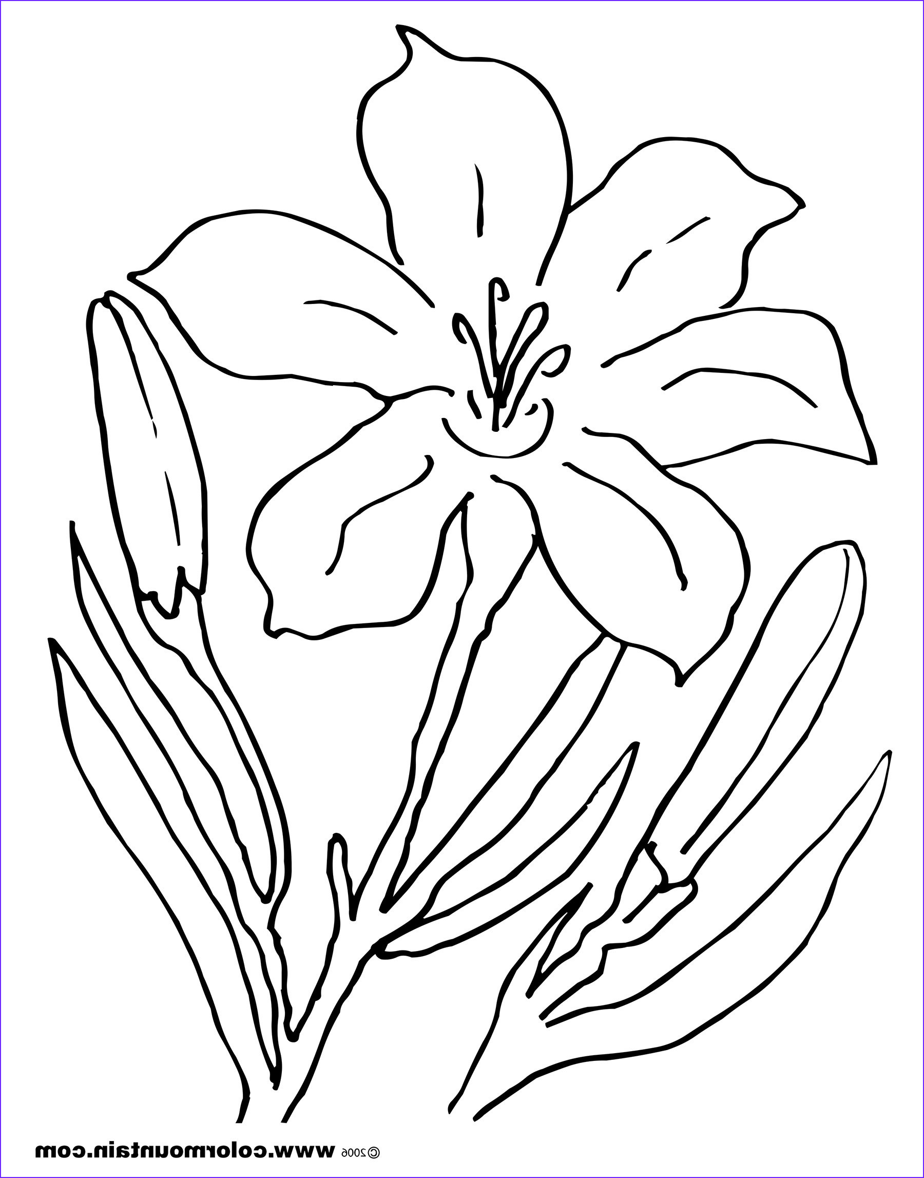 lily flower drawing pictures