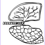 Lungs Coloring Page Awesome Collection Coloring Page Lungs Coloring Picture Lungs Free