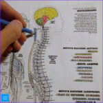 Neuroanatomy Coloring Book Beautiful Images How To Learn Anatomy With A Coloring Book