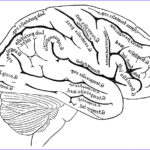 Neuroanatomy Coloring Book Best Of Gallery Brains Clipart Line Drawing Pencil And In Color Brains
