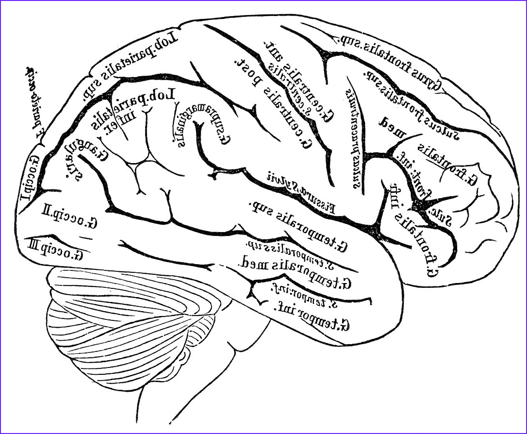 Brains clipart line drawing