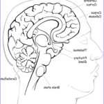 Neuroanatomy Coloring Book Luxury Photos Image Result For Free Human Anatomy Coloring Pages Pdf