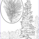 Pine Tree Coloring Page Beautiful Images Pine Tree Coloring Pages For Kids Free Printable Pine