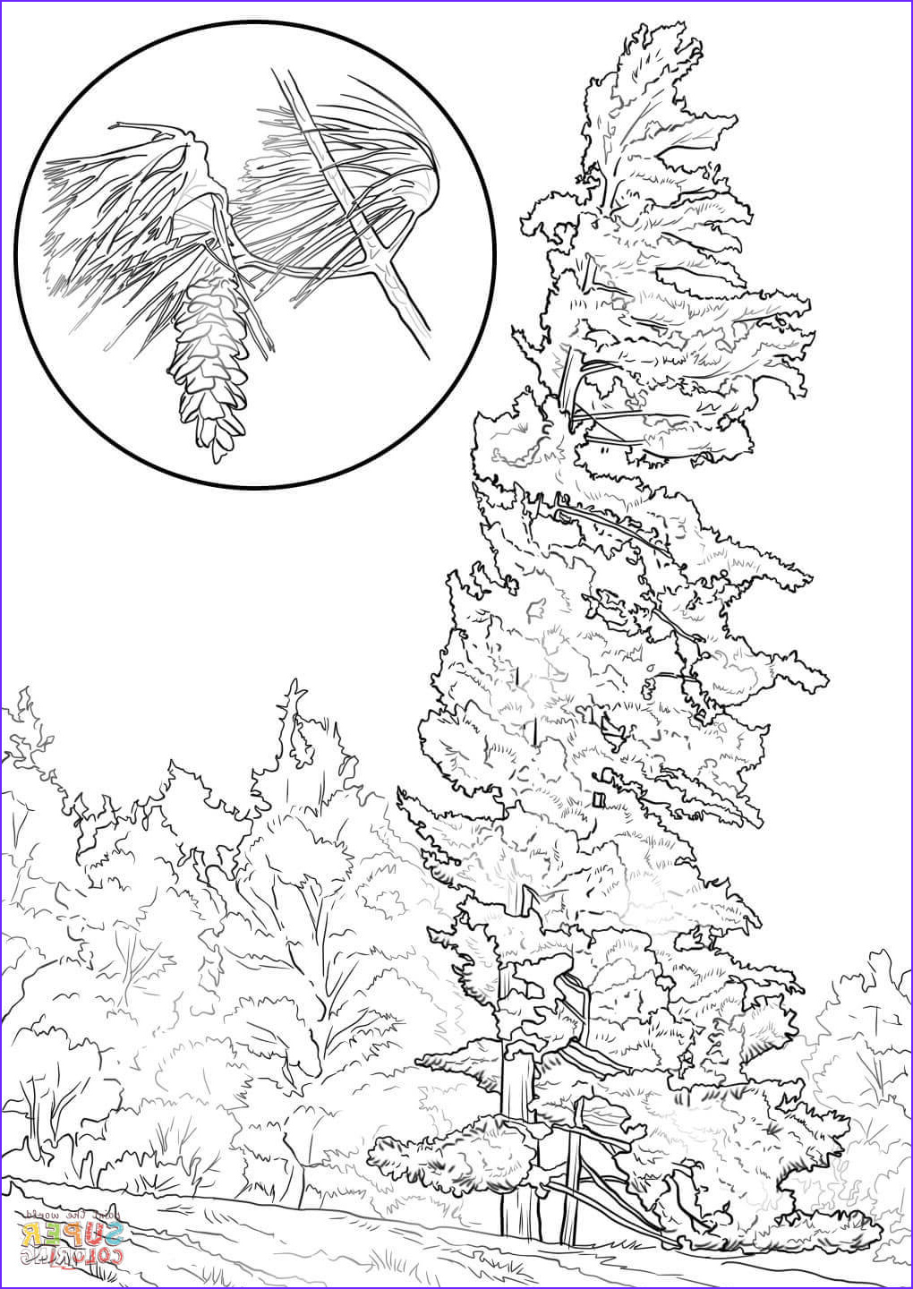 Pine Tree Coloring Page New Photos Eastern White Pine Tree Coloring Page
