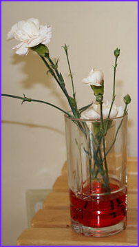 dyed flowers capillary action