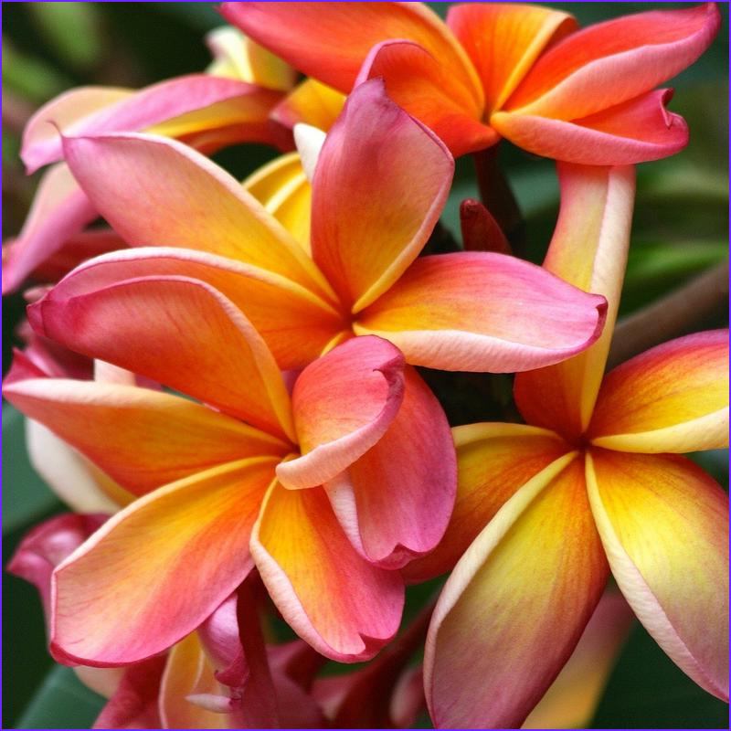 Plumeria Coloring Awesome Image Fragrant Plumeria the Sensation Of Summer – Easy to