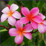 Plumeria Coloring Awesome Photos Buy Plumeria Champa Any Color Plant Online At Nursery