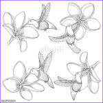 """Plumeria Coloring Beautiful Gallery """"vector Set With Flying Hummingbird Or Colibri And"""