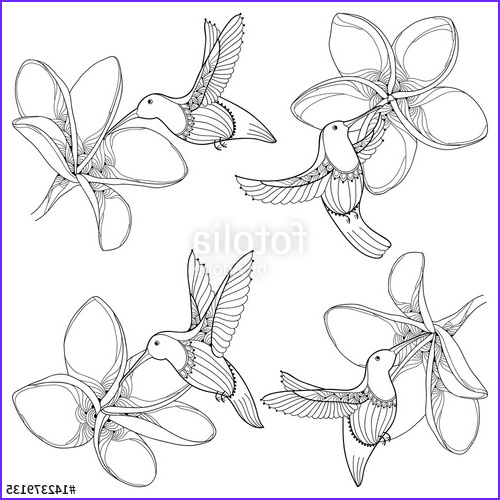 "Plumeria Coloring Beautiful Gallery ""vector Set with Flying Hummingbird or Colibri and"
