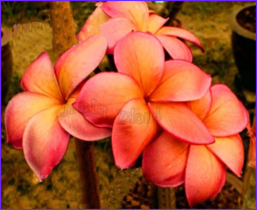 45 Cool Gallery Of Plumeria Coloring