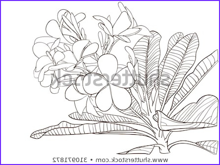 Plumeria Coloring Inspirational Photos Temple Flower Stock Royalty Free & Vectors
