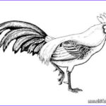Rooster Coloring Pages Elegant Photography Rooster Cubalaya Coloring Pages Hellokids