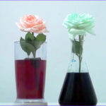Why Do Flowers Change Color In Food Coloring Cool Photos Colored Flowers
