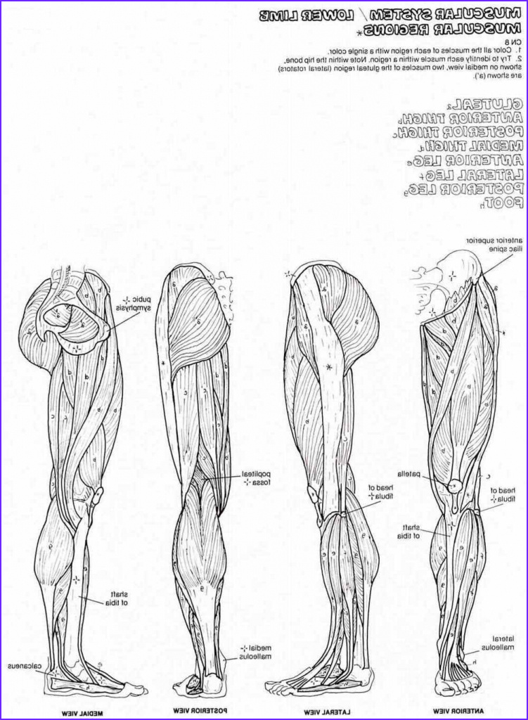 muscles human body sketch templates