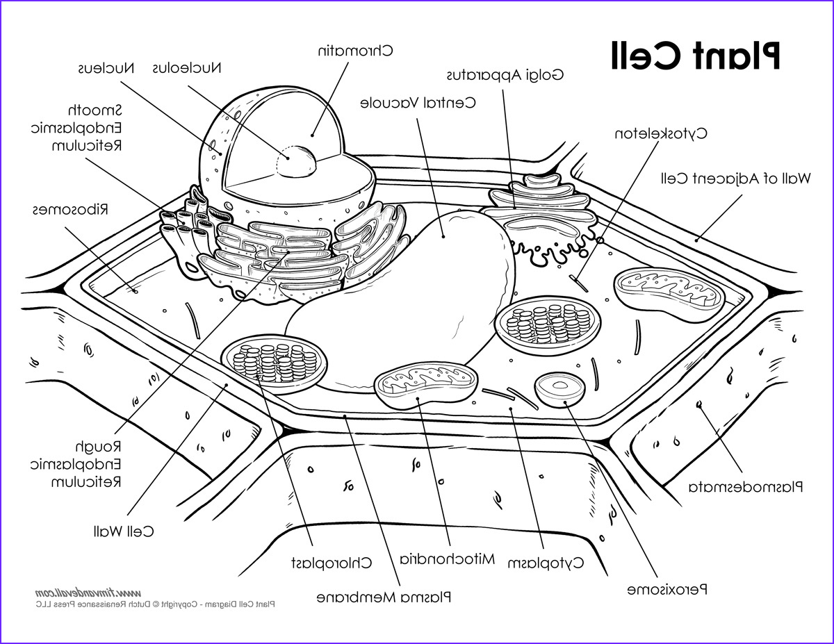 plant cell diagram bw