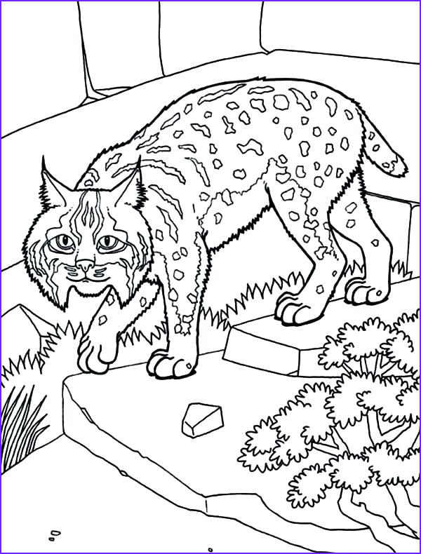 bobcat coloring pages