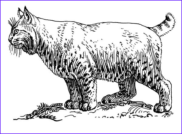 pregnant female bobcat coloring pages